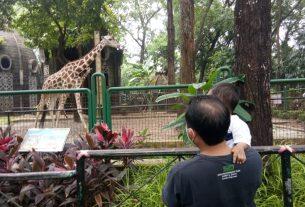 Tampak pengunjung sementara menonton atraksi Jerapa di Taman Marga Satwa Ragunan, Jakarta. Foto : Mediajakarta.com/Mutmainnah.